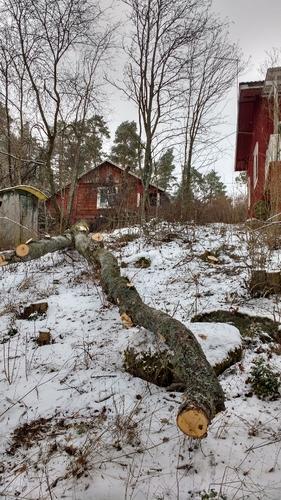 Pihakoivun kaato Tampere